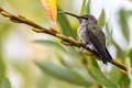 Картинка макро, лист, почки, ветка, колибри, птица