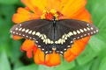 Картинка цветок, макро, бабочка, Парусник Поликсена