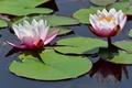 Картинка вода, отражение, водяная лилия, кувшинки, нимфея, листья