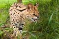 Картинка кошка, сервал, трава, клыки