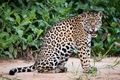Картинка кошка, животное, пятна, ягуар
