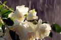 Картинка вода, букет, бутоны, белые, розы, дождь, капли