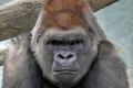 Картинка животное, строгий, обезьяна, Горилла