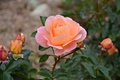 Картинка персиковая, бутоны, роза