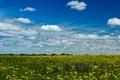 Картинка поле, одуванчики, желтые, лето, солнце, небо, облака