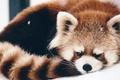 Картинка firefox, спит, Красная панда