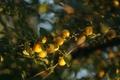 Картинка желтый, зеленый, дерево, фрукты, алыча