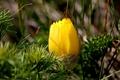 Картинка весна, жёлтый, стародубка