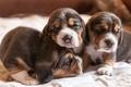 Картинка собаки, уют, дом, щенки, бигли