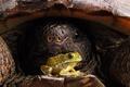 Картинка Лягушка, черепаха, панцирь