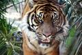 Картинка тигр, sumatran, tiger