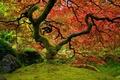 Картинка клён, японский сад, красный, природа