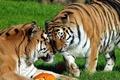 Картинка пара, тигр, ласка, отдых, амурский