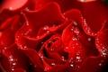 Картинка макро, лепестки, капельки, красная, капли, роза