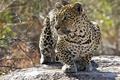 Картинка леопард, кошка, хищник