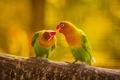 Картинка перья, ветка, волнистый попугай, природа, клюв, любовь, попугай, листья, пара, хвост, птица, поцелуй, лес