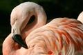 Картинка птица, перья, клюв, фламинго