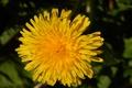 Картинка цветок, желтый, зеленый, одуванчик