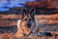 Картинка собака, взгляд, фон, Немецкая овчарка, друг