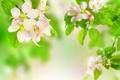 Картинка размытость, яблоня, ветки, цветы, листья