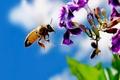Картинка Цветок, пчела