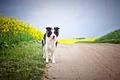 Картинка дорога, собака, рапс