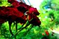 Картинка цветы, природа, роза