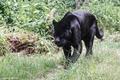 Картинка чёрный ягуар, хищник, зоопарк, дикая кошка, пантера