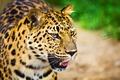 Картинка леопард, взгляд, усы, морда, большая пятнистая кошка