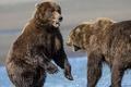 Картинка пара, борьба, шерсть, медведи