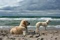Картинка море, собаки, фон