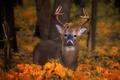 Картинка осень, взгляд, олень