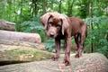Картинка собака, фон, лес