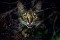 Картинка взгляд, котэ, глаза, фон, котёнок