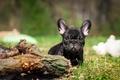 Картинка собака, щенок, бульдог, французский бульдог