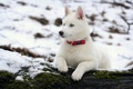 Картинка собака, хаски, зима