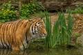 Картинка купание, тигр, хищник, пруд, дикая кошка