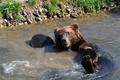 Картинка медведь, мокрый, купание, лапа, водоём, мишка