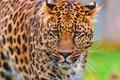 Картинка леопард, пятнистый, морда, смотрит, обои, стоит, красивый, leopard, panthera pardus