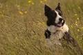 Картинка трава, собака, луг, Бордер-колли