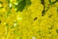 Картинка цветки, макро, кисти, насекомое, бобовник, пчела