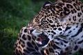 Картинка оскал, зверь, хищник, дикая кошка, ягуар