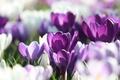 Картинка макро, фиолетовые, сиреневые, белые, размытость, лепестки, Крокусы, весна