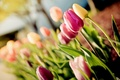 Картинка цветы, макро, tulips, тюльпаны