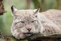 Картинка кошка, взгляд, рысь, морда