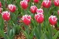 Картинка мохнатые, Махровые бахромчатые тюльпаны, колючие, много, тюльпаны
