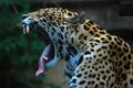 Картинка Jaguar, ягуар, язык