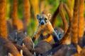 Картинка коати, млекопитающее, Мексика, остров Косумель, носуха