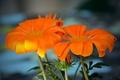 Картинка Цветы, оранжевые, flowers, orange, боке, bokeh