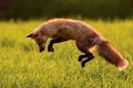 Картинка лисица, лиса, прыжок, охота